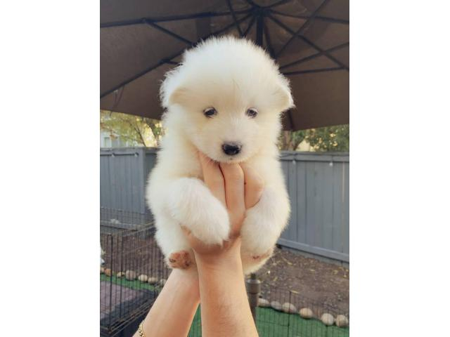 Purebred Samoyed puppies for sale in Santa Rosa ...