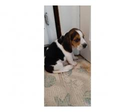 Male beagle pups for sal3