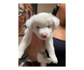 Ticolored and white Aussie puppies