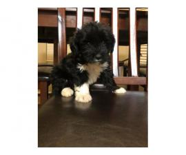 9 weeks old Shihpoo Puppies for sale