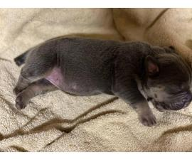 10 Registered Cane Corso Puppies for Sale