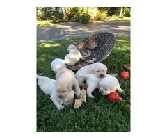 Purebred AKC Registered Labrador Puppies