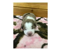 Registered Toy Aussie Puppies