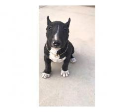 3 male Bull Terrier Puppies