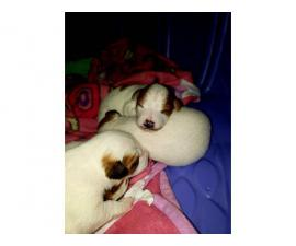 3 males Jack Russell Puppy