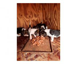 Litter of AKC registered beagle puppies