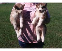 2 female huskies