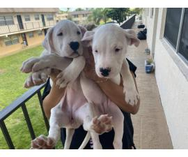 AKC Dogo Argentino Puppies for sale