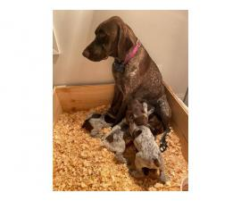 12 AKC registered GSP puppies available
