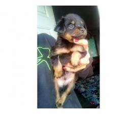 3 male min pin puppies for sale