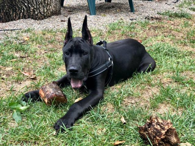 4 month old male Black Great Dane Puppy up for new home in ...