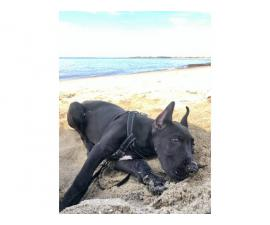 4 month old male Black Great Dane Puppy up for new home