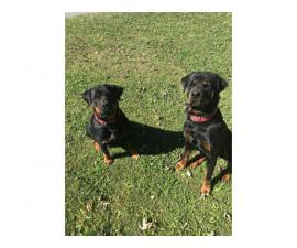 Litter of Full Blooded Rottweilers
