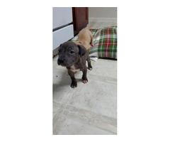 Tan and Brindle Pitbull puppies