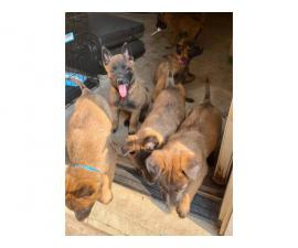 7 Belgian Malinois puppies for sale