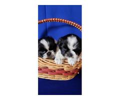 2 adorable Shih Tzu puppies