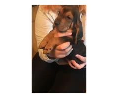 One Boy Basset Hound Puppy Left