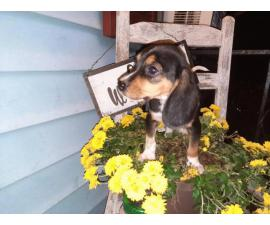 2 beagle puppies needing a loving home