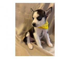 6 Husky Puppies for new homes