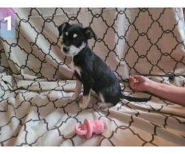 6 Jagdterrier Mix Puppies for Sale