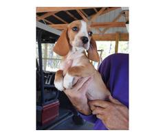 2 females lemon beagle puppies for sale
