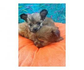 3 males teacup morkie puppies