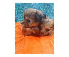 3 males teacup morkie puppies