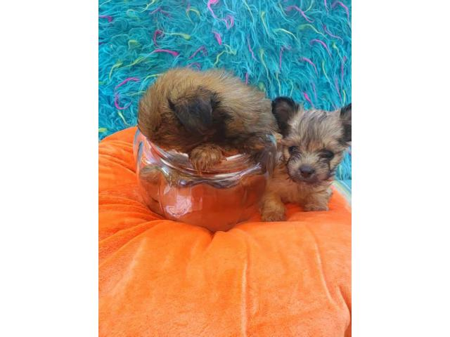 3 males teacup morkie puppies in Michigan