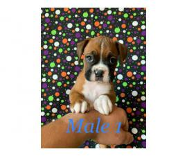 Rehoming 5 males boxer puppies