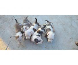 5 females pitbull puppies available