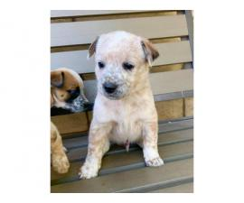 6 Gorgeous Red Heeler Puppies for Sale