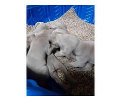 Silver-grey Weimaraner puppies for sale