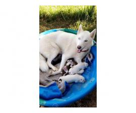 4 males fullblooded husky puppies