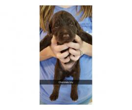 4 F1B Labradoodle Puppies Available