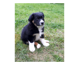 Male Aussie Pup For Adoption