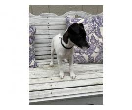 Purebred female Jack Russell puppy