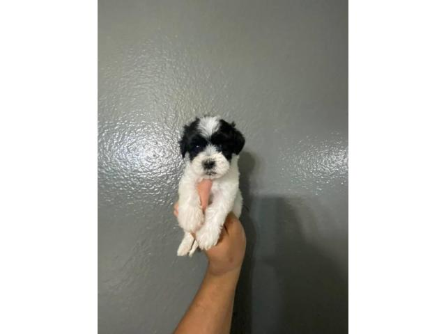 2 Month old male and female maltipoo puppies in North West South Africa