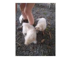 3 White Coated German Shepherds