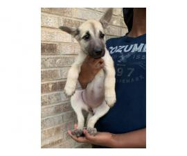4 lovely Shepsky puppies for sale