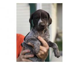 3 AKC German shorthaired pointer puppies for sale