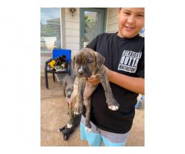 4 Pit bull puppies need new home