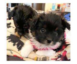 2 Teacup Size Yoranian Puppies