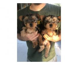 3 Yorkshire Terrier Puppies Available