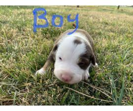 3 males and 1 female border collie puppies