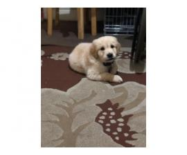 Purebred Male Golden Retriever