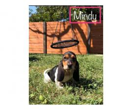 Six Basset Hound Puppies for good home