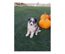 Standard Aussie Puppies ready for new homes