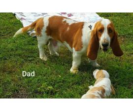 3 males and 2 females adorable puppies of Basset Hound
