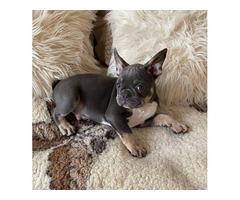 Male French Bulldog puppy