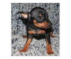 Adorable Min Pin Pup